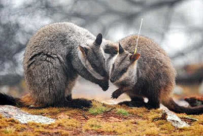 Two Brush-tailed Rock-wallabies greeting